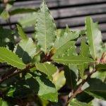 Frunzele de dafin și proprietățile lor vindecătoare! Scade riscul de cancer și te scapă de stres!